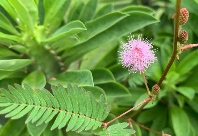 IBIOTICS-Inhaltsstoff-Mimosenrinde-Extrakt